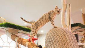 Портрет коричневых предпосылок кота Стоковые Фото