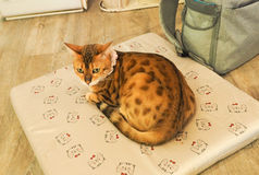 Портрет коричневых предпосылок кота Стоковое Фото