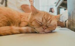 Портрет коричневых предпосылок кота Стоковое фото RF