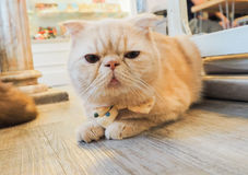 Портрет коричневых предпосылок кота Стоковая Фотография RF