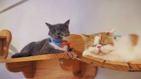 Портрет коричневых предпосылок кота Стоковые Фотографии RF