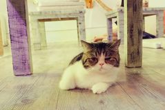 Портрет коричневых предпосылок кота Стоковые Изображения