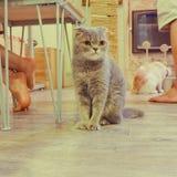 Портрет коричневых предпосылок кота Стоковое Изображение