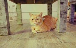 Портрет коричневых предпосылок кота Стоковое Изображение RF