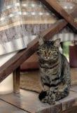 Портрет коричнев-наблюданного кота Стоковое фото RF