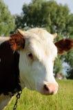 Портрет коровы белизны и коричневого цвета на выгоне Стоковые Изображения