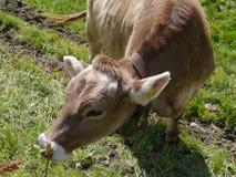 Портрет коровы в горах Стоковое Изображение RF