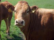 портрет коровы говядины Стоковые Фотографии RF