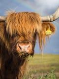Портрет коровы гористой местности Стоковая Фотография