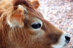 портрет коровы головной Стоковая Фотография