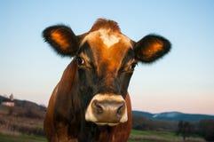 Портрет коровы Джерси Стоковые Фотографии RF