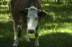 Портрет коровы запятнанной детенышами Корова пася на луге фермы Стоковые Изображения