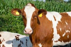 Портрет коровы коричневый белый стоковая фотография rf