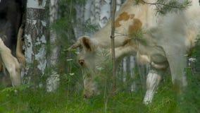 Портрет коровы на предпосылке поля Красивая смешная корова на ферме коровы Конец травы еды коровы яркий ый-зелен вверх Стоковая Фотография RF