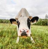 Портрет коровы на предпосылке поля Красивая смешная корова на ферме коровы Молодая черно-белая икра вытаращить на камере Стоковое фото RF