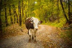 Портрет коровы на сельской дороге в Bucovina Стоковое фото RF