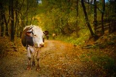 Портрет коровы на сельской дороге в Bucovina Стоковые Изображения