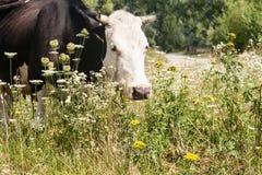 Портрет коровы пася в луге Стоковые Изображения