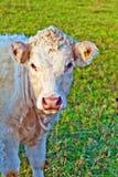 Портрет коровы стоя на высокогорном луге Стоковые Фотографии RF