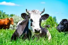 Портрет коровы Стоковое Фото