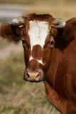 портрет коровы Стоковые Фотографии RF