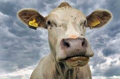 Портрет коровы Стоковые Изображения