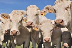 Портрет коровы Стоковая Фотография RF