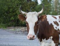 Портрет коровы Стоковые Фото