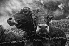 Портрет 2 коров в черно-белом Стоковая Фотография