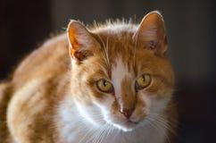Портрет Коротк-с волосами кота Tabby апельсина и белизны стоковая фотография rf