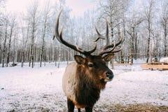 Портрет королевских красных оленей buck с antlers Стоковое фото RF