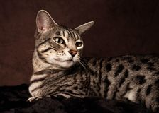 Портрет кота Бенгалии на предпосылке Брауна стоковые фотографии rf