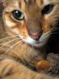 портрет кота Бенгалии Стоковые Фотографии RF