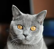 портрет кота близкий вверх Стоковые Изображения RF