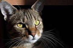 Портрет кота в доме на темной предпосылке Стоковые Изображения