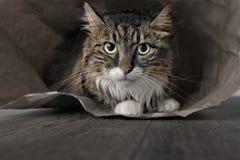 Портрет кота енота Мейна сидя в бумажной сумке и смотря сердитый прямо в объективе стоковые изображения