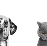 Портрет кота и собаки изолированных на белой предпосылке Стоковое Изображение