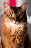 портрет кота сомалийский Стоковые Фотографии RF