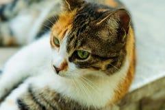 Портрет кота улицы Стоковое Изображение