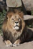 Портрет кота льва Стоковая Фотография