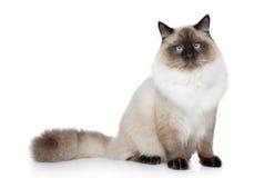 Портрет кота Birman стоковая фотография rf