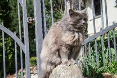 Портрет кота Chantilly Тиффани толстых длинн-волос серого ослабляя в саде Закройте вверх тучного женского кота с большими длинным Стоковая Фотография