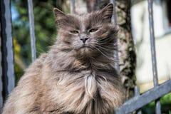Портрет кота Chantilly Тиффани толстых длинн-волос серого ослабляя в саде Закройте вверх тучного женского кота с большими длинным Стоковые Фото