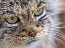 Портрет кота ` Pallas, manul Otocolobus, красивого кота горы Стоковая Фотография RF