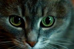 Портрет кота Sibirian Стоковые Изображения