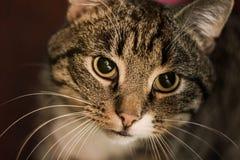 Портрет кота Tabby Стоковые Фото