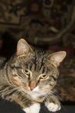 Портрет кота Tabby Стоковая Фотография