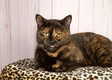 Портрет кота torti вставляя ее язык вне Стоковые Изображения