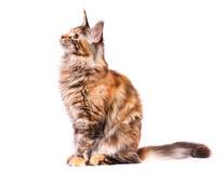Портрет котенка енота Мэн Стоковые Изображения