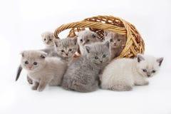 Портрет котят групп милых изолированных на белой предпосылке студии Стоковая Фотография RF